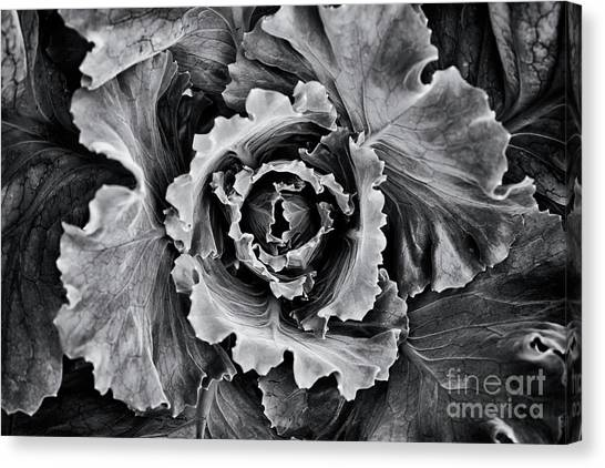 Cabbage Canvas Print - Ornamental Cabbage Monochrome  by Tim Gainey