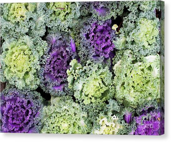 Cabbage Canvas Print - Ornamental Cabbages by Tim Gainey