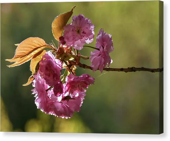 Ornamental Cherry Blossoms - Canvas Print