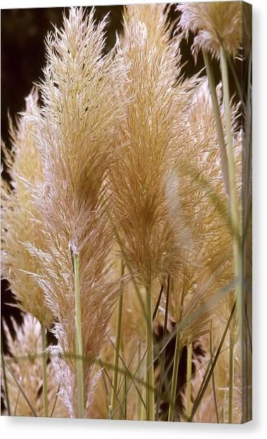 Ornamental Grass Canvas Print by Chris Brewington Photography LLC
