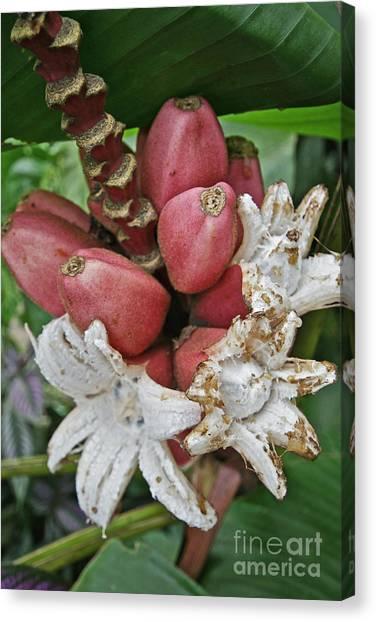 Banana Tree Canvas Print - Ornamental Red Banana, Costa Rica by Blair Seitz