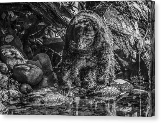 Oservant Black Bear  Canvas Print