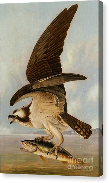 Osprey Canvas Print - Osprey And Weakfish by John James Audubon