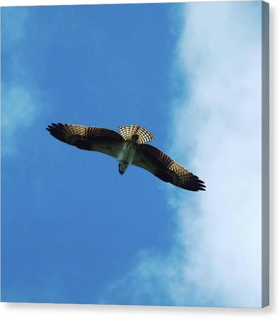 Osprey Canvas Print - #osprey #birdsofinstagram #saltrun by Greg Royce