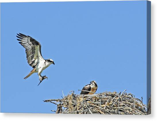Osprey Brings Fish To Nest Canvas Print