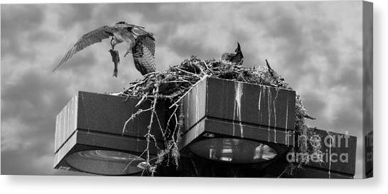 Osprey Carrying Fish To Nest Canvas Print