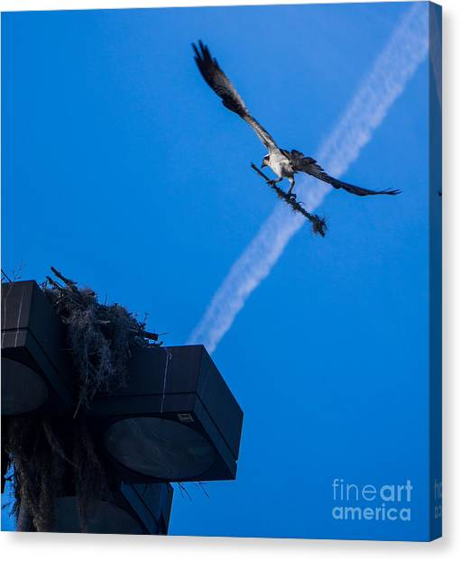 Osprey Carrying Stick To Nest Canvas Print
