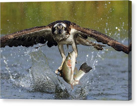 Osprey Canvas Print - Osprey Catching Trout by Scott  Linstead