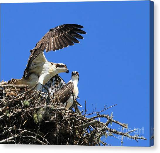 Osprey Chicks Ready To Fledge Canvas Print
