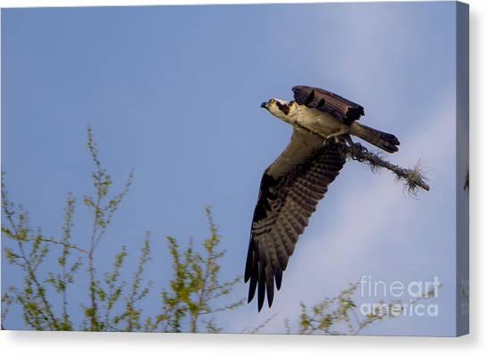 Osprey Collecting Sticks Canvas Print