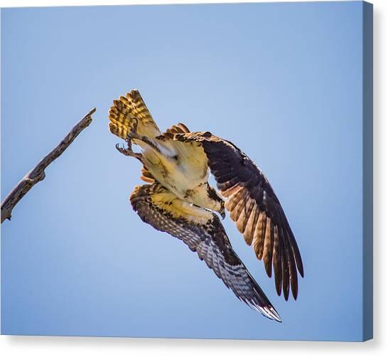 Osprey Dive Canvas Print