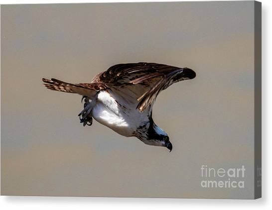 Osprey Canvas Print - Osprey Dive by Mike Dawson