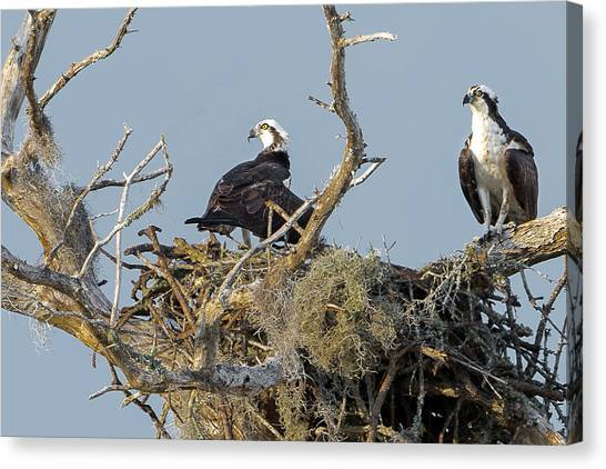 Osprey Family Canvas Print