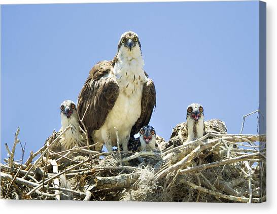 Osprey Family Portrait Canvas Print