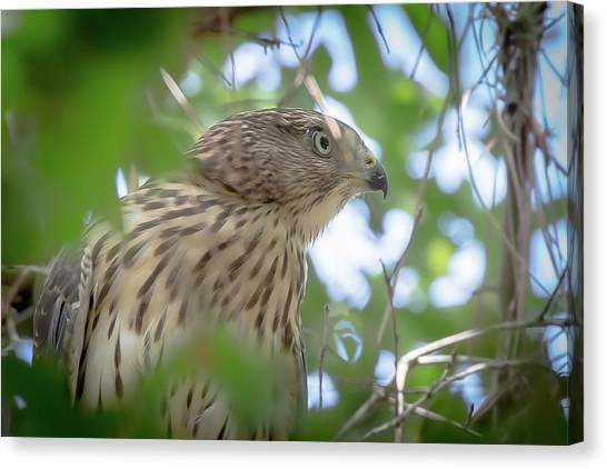 Red-shouldered Hawk Fledgling 1 Canvas Print