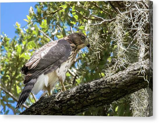 Red-shouldered Hawk Fledgling - 4 Canvas Print