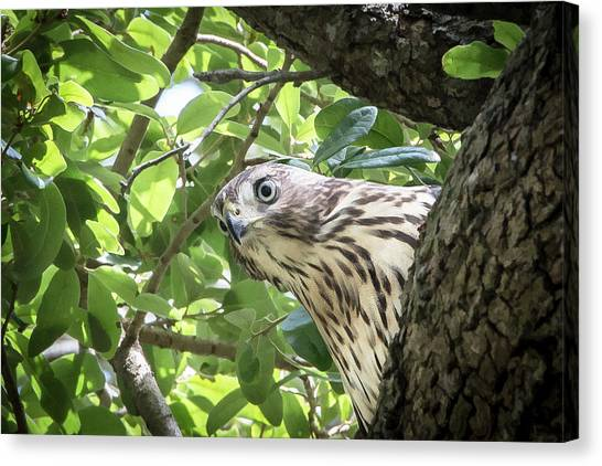 Red-shouldered Hawk Fledgling - 5 Canvas Print