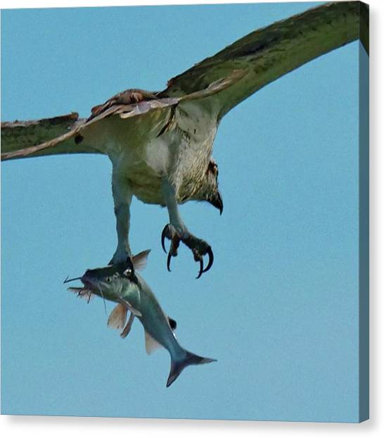 Osprey Canvas Print - Osprey With Catfish by Marvin Reinhart