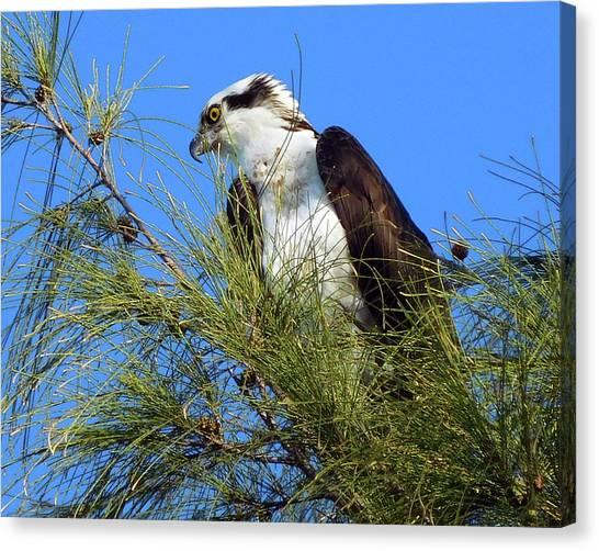 Osprey In Tree Canvas Print