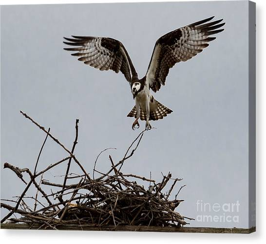 Osprey Landing Canvas Print