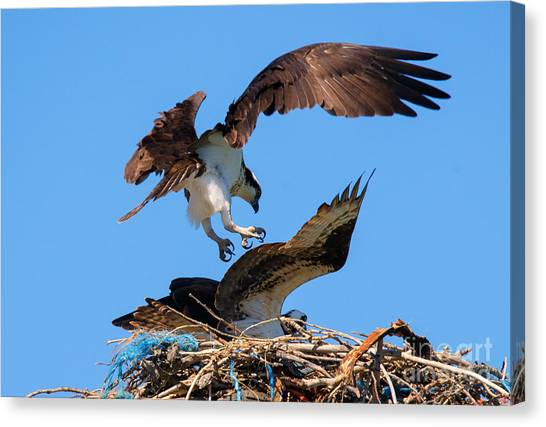 Osprey Canvas Print - Osprey Mating Dance by Mike Dawson