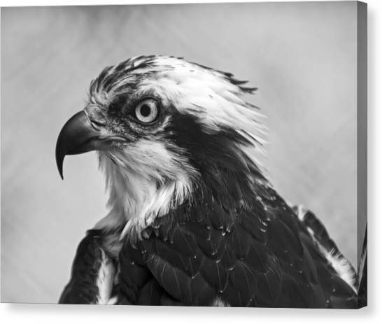 Osprey Canvas Print - Osprey Monochrome Portrait by Chris Flees