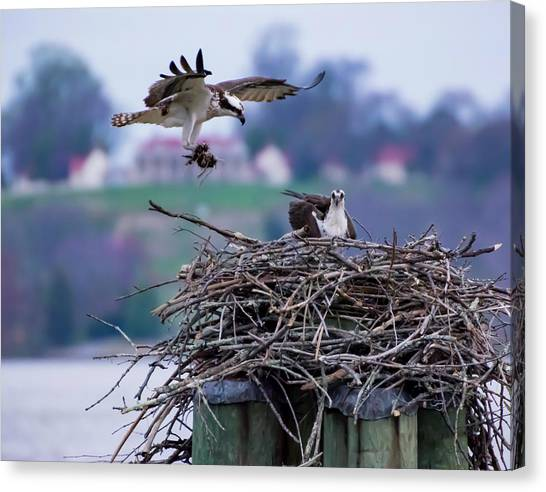 Osprey Nest Building Canvas Print