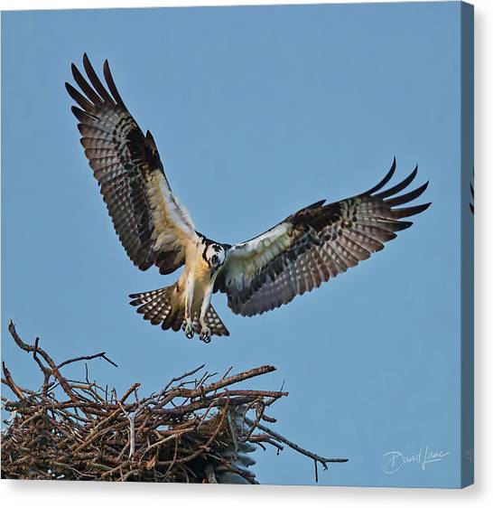 Canvas Print featuring the photograph Osprey Nest Landing by David A Lane
