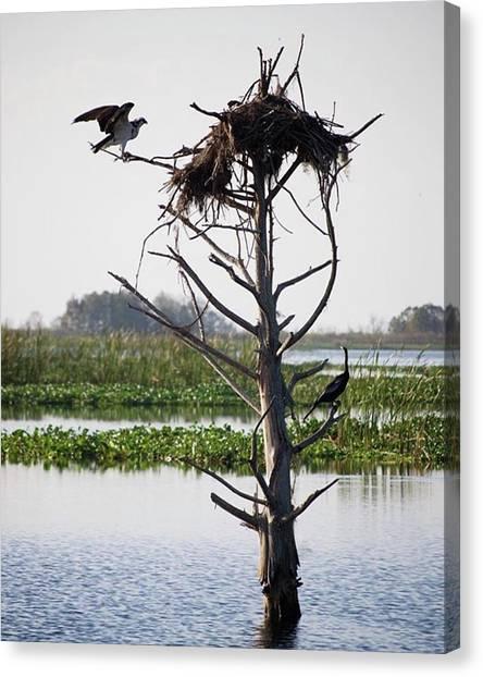 Osprey Canvas Print - Osprey Nest  Blue Cypress Conservation by Tiffany Clapp