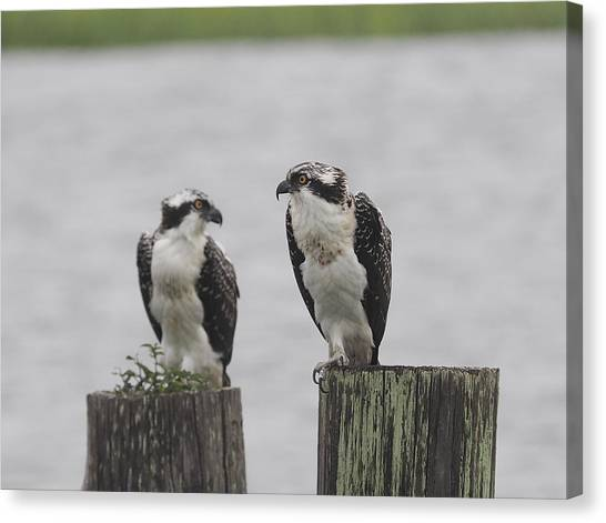 Osprey On Nj Shore 2014 Canvas Print