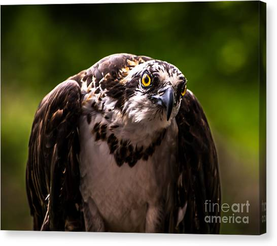 Osprey Profile Canvas Print