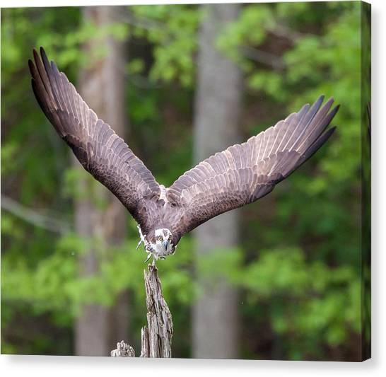 Osprey Canvas Print - Osprey by Super Lovely