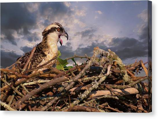 Osprey Talk Canvas Print
