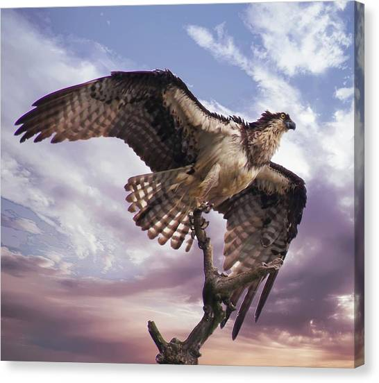 Osprey Wing Canvas Print