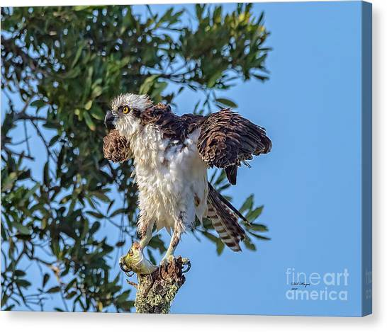 Osprey With Meal Canvas Print