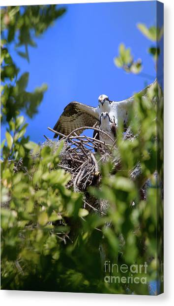 Ospreys Canvas Print