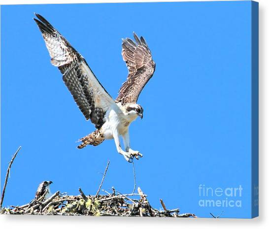 Ospreys Learning To Fly Canvas Print