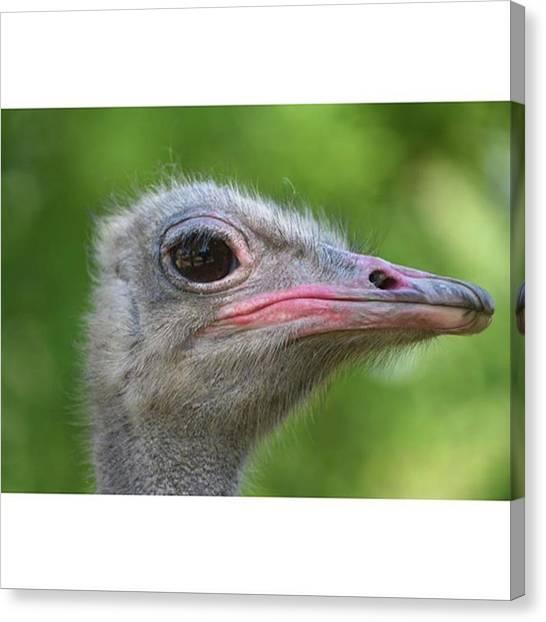 Ostriches Canvas Print - Ostrich by Adriano La Naia