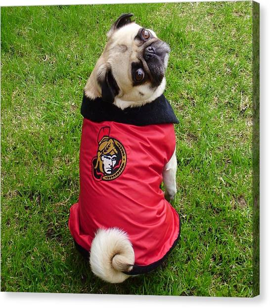 Ottawa Senators Canvas Print - Ottawa Senators Pug Hockey Fan by Tina Moreau
