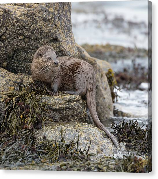 Otter Beside Loch Canvas Print