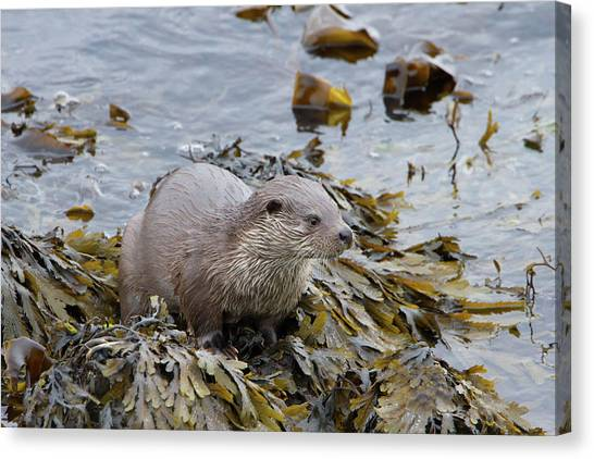 Otter On Seaweed Canvas Print