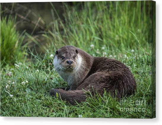 Otter On The Grass Canvas Print by Philip Pound