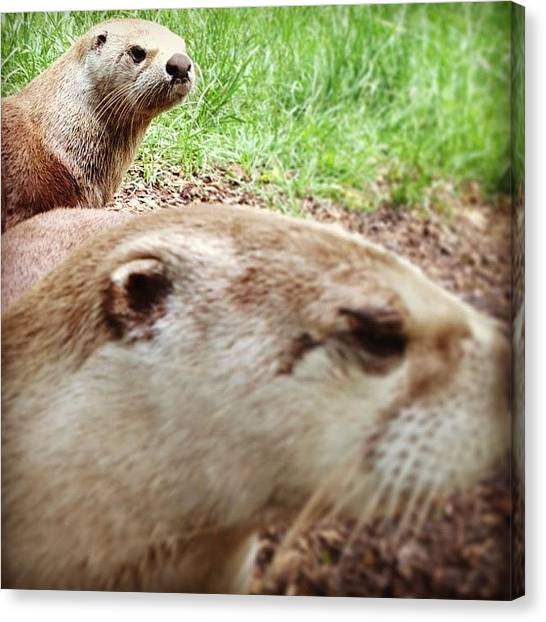 Otters Canvas Print - #otter #park #wildlife #newforest by Becky Veal
