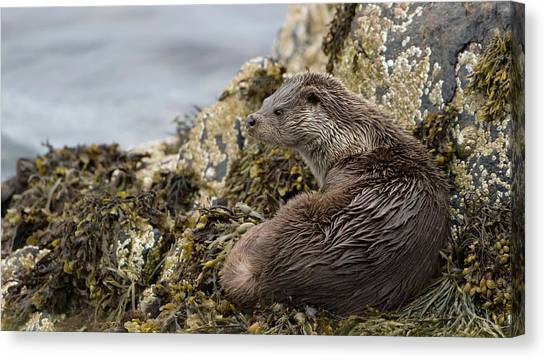 Otter Relaxing On Rocks Canvas Print