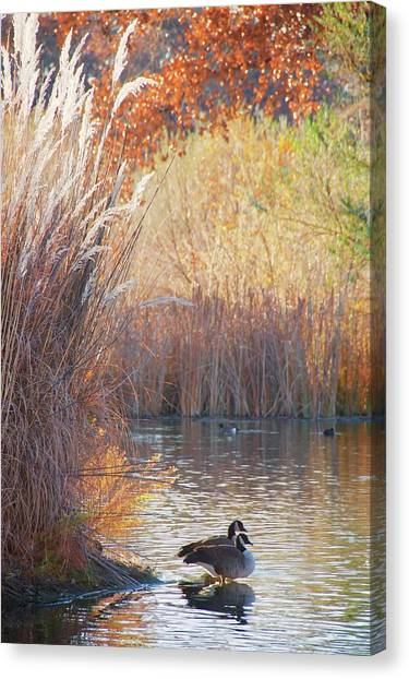 Sanctuary, Canadian Geese Canvas Print