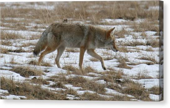Out Looking For Dinner Canvas Print by Robert Torkomian