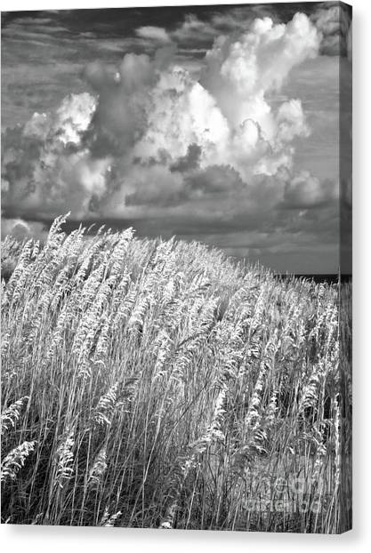Outer Banks - Sea Oats Swaying In A Storm Bw Canvas Print by Dan Carmichael