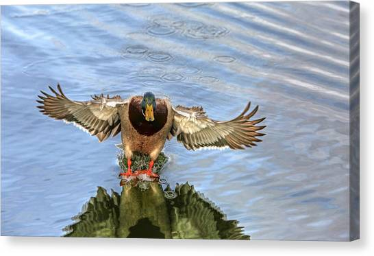 Drake Canvas Print - Outta My Way  by Donna Kennedy