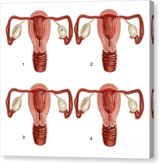 Information Graphics Canvas Print - Ovulation And Menstruation by Gwen Shockey