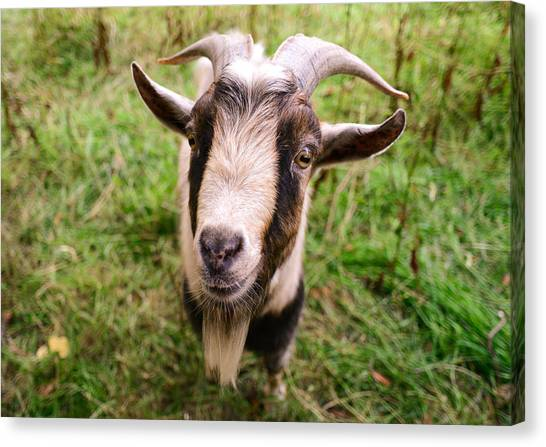 Oxford Goat Canvas Print